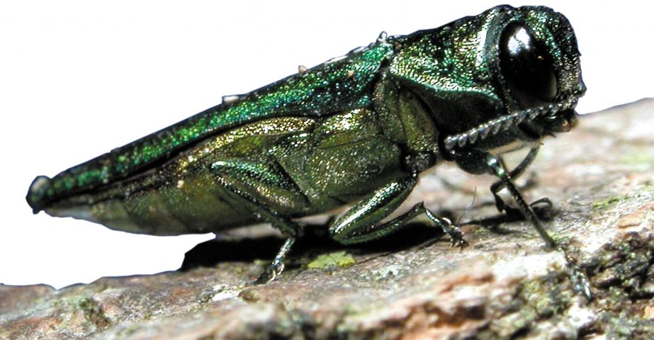 Emerald Ash Borer Early Detection Program Resumes This June