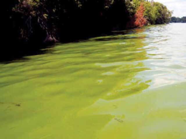Blue Green Algae Bloom In Three Mile Lake In Muskoka Lakes Twp