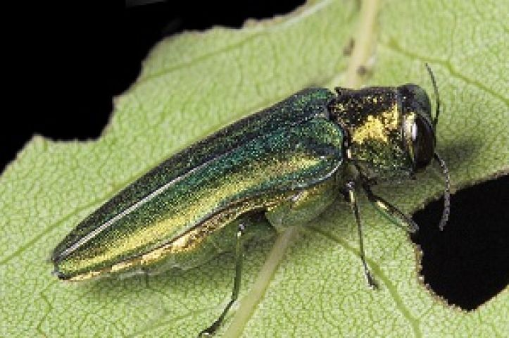 Emerald Ash Borer Arrives in Muskoka