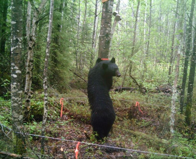 MNRF Conducting Black Bear Study in The Area