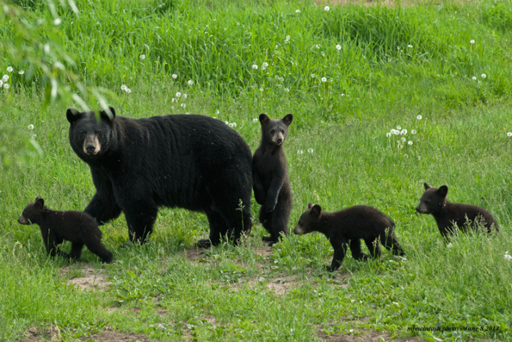 Spring Bear Hunt Could Result In Orphan Cubs